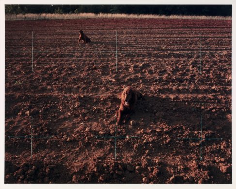 Red Setters in Red Field, Charlotte, North Carolina from the series Altered Landscapes